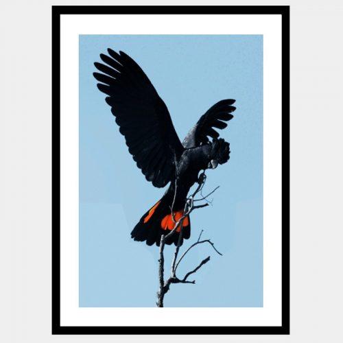 Barren Black Cockatoo - Flat Matte Black