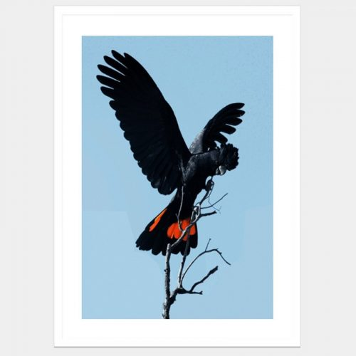 Barren Black Cockatoo - Flat Matte White