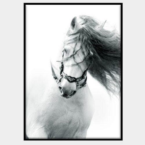 Lipizana Canvas - Black Box Frame